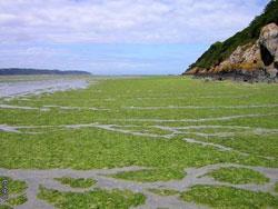 Bretainiako itsasoa alga toxikoez leporaino