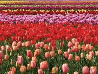 Herbehereetako tulipanak
