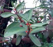 Hydnophytum generoko alea.