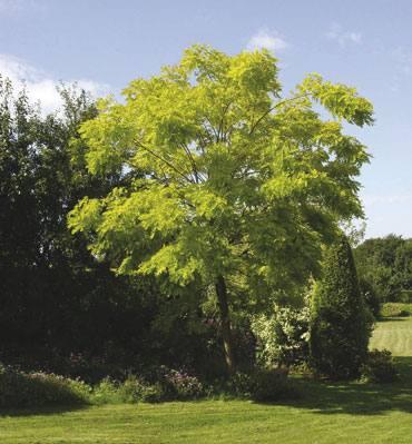 Sasiakazia, Robinia pseudoacacia.