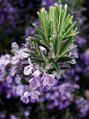 Erromeroa, Rosmarinus officinalis.