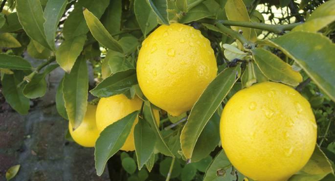 Limoiondoa, Citrus x limon.