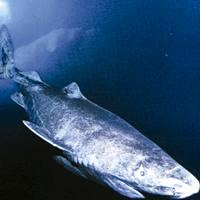 Groenlandiako marrazoa, harrapari mantsoa baina eraginkorra