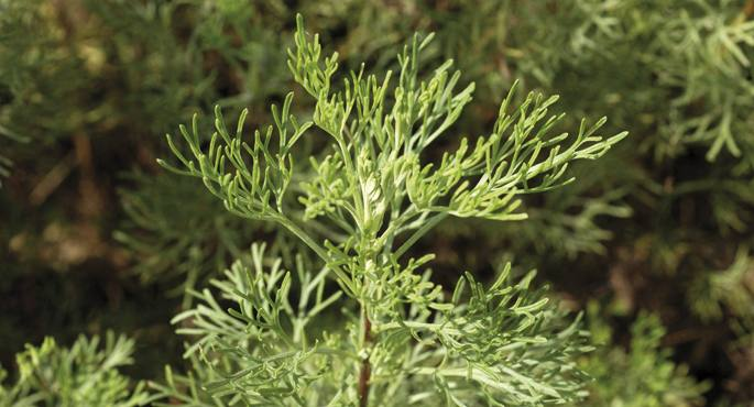 Artemisia abrotanum. Hau da bizio-belar jatorra, askorentzat.