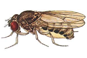 Drosophila bifurca.