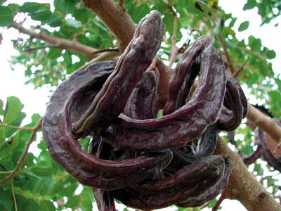 Algarrobondoaren (Ceratonia siliqua) lekak. Barruko haziak elkarren ia berdinak dira, horregatik erabiltzen ziren neurri modura. (Arg:Chixoy)