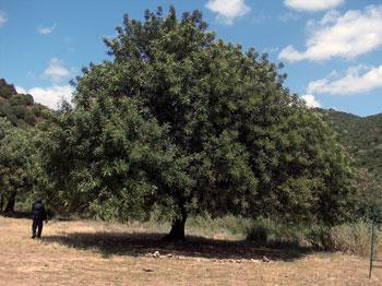 Algarrobondoa (Ceratonia siliqua).