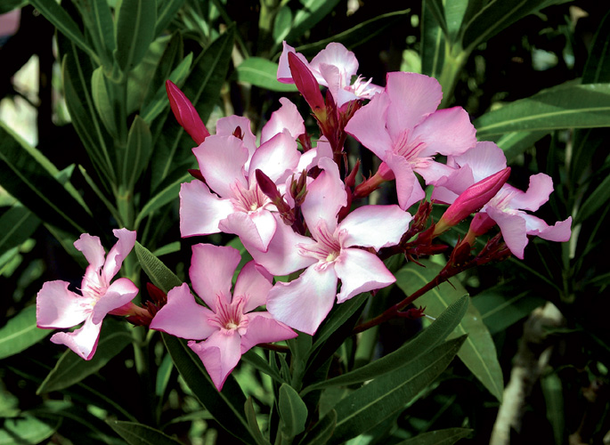 Heriotzorria, Nerium oleander, dosiaren arabera kalte bezala mesede egin diezagukeen landare ugarietako bat.