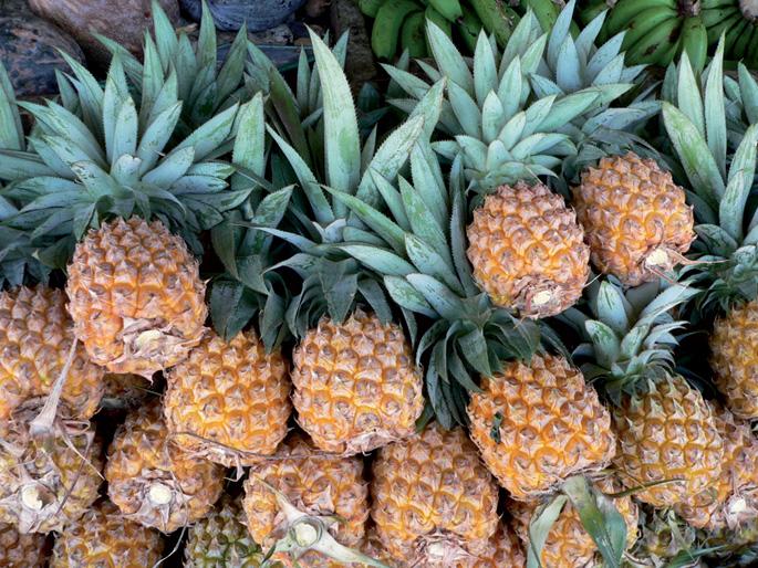 Anana (Ananas comosus), hazirik gabeko fruitu ugarietako bat.