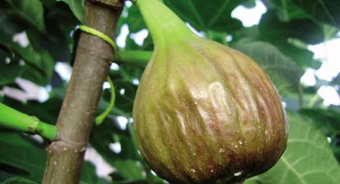 Pikondoa, Ficus carica, zaurituz gero esnea edo latexa ematen duen landare ugarietako bat.