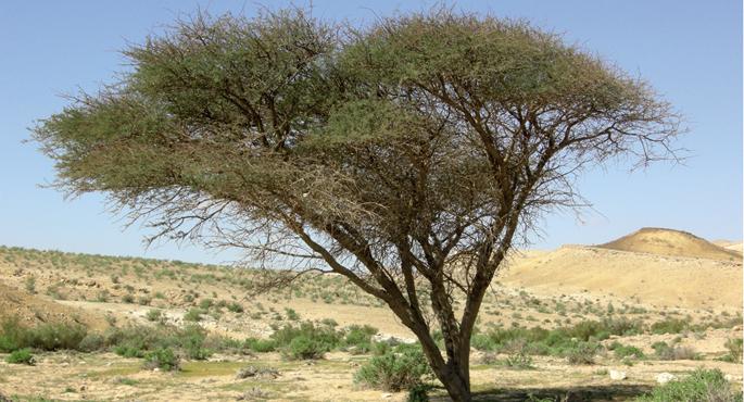 Acacia generoko zuhaitza.