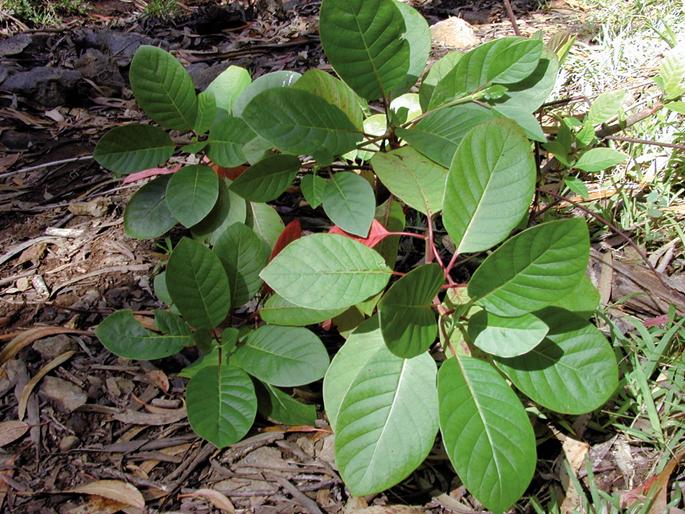 'Cinchona pubescens' espezieko aleak. Juan José Tafalla corellarrak 43 kina espezie aurkitu zituen Hego Amerikan egindako hainbat espedizio botanikotan.