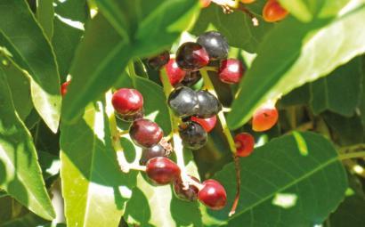 Fruitu berri bat