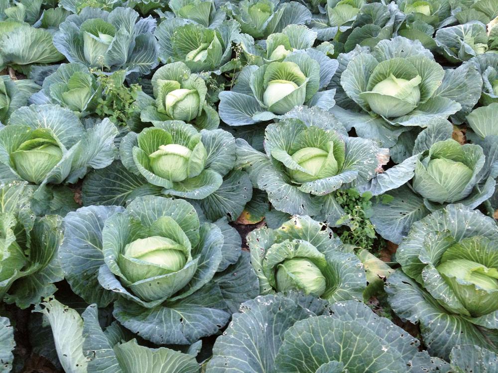 Argazkian, azak. Horixe esan nahi latinezko 'Brassica' hitzak: aza. Izen bereko generoaren barruan badira bestelakoak ordea. (Arg.: Jakoba Errekondo)