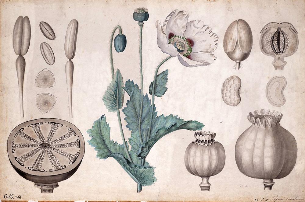 Papaver somniferum edo opio-belarraren ilustrazio zaharra, XIX. mende amaierakoa. Opio kontsumoa askoz zaharragoa da, gutxienez duela 6.000 urtekoa.