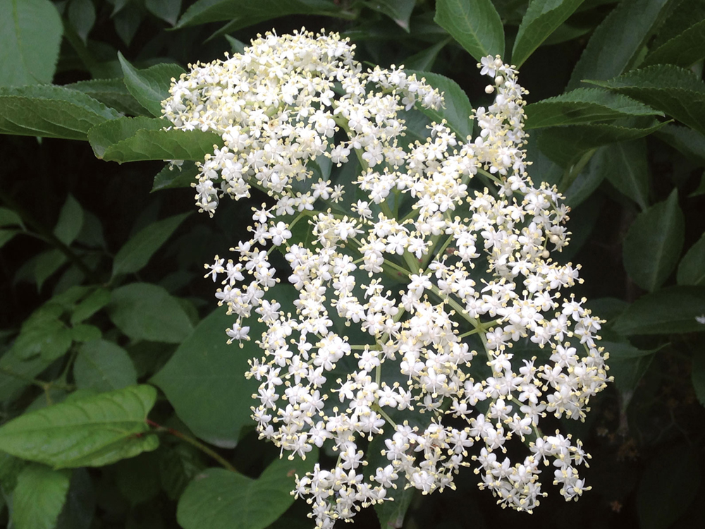 Intsusa, Sambucus nigra (Arg.: Jakoba Errekondo)