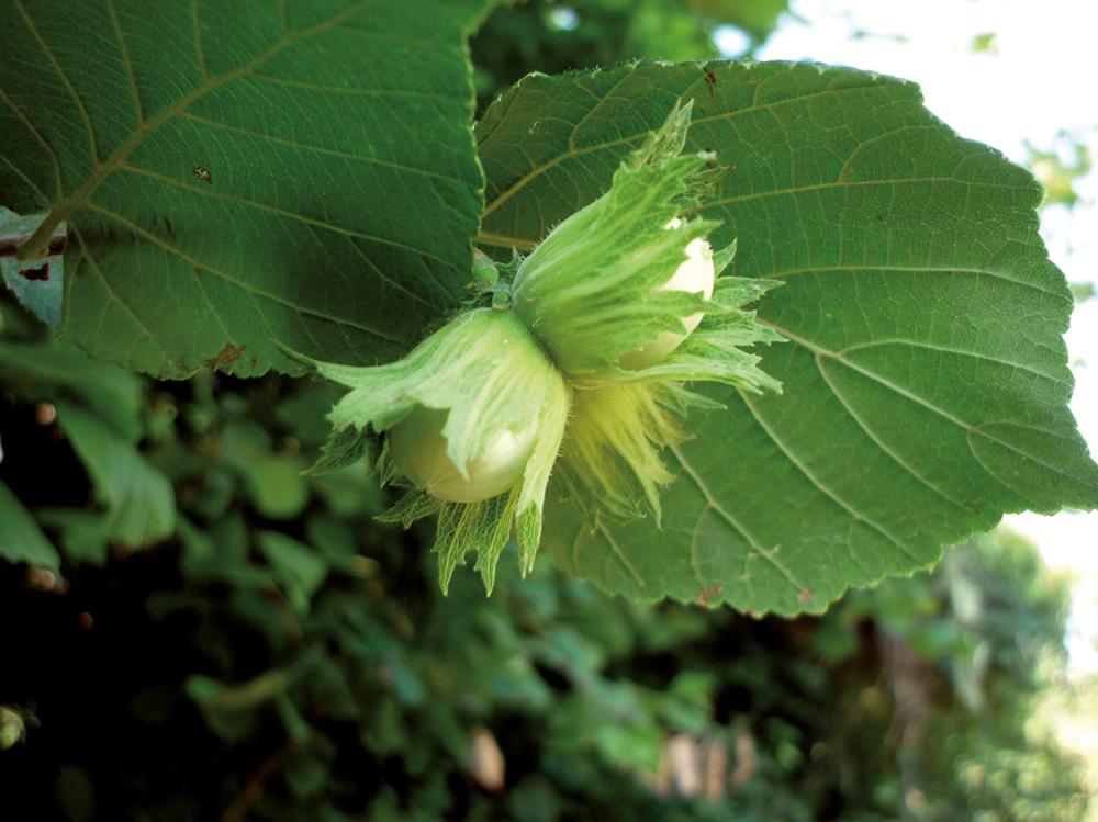 Hurritza, Corylus avellana. (Arg.: isidre blanc-CC By SA)
