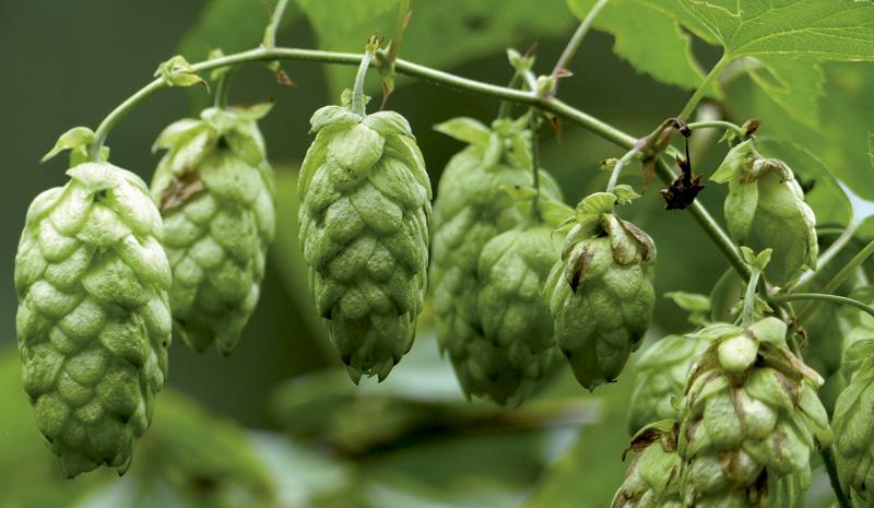 Lupulua (Humulus lupulus), zerbeza-loria (Gipuzkoa), zerbeza-landaria  (Gipuzkoa), otsaihena (Nafarroa) edo bierbelarra (Iparraldea), Cannabinacea familiako landare belarkara da.