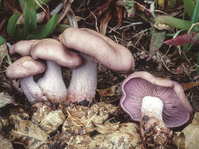 Ziza hankaurdina edo oinurdina (Clitocybe nuda).  Onddo honek pestizidak eta herbizidak  degradatzen ditu.