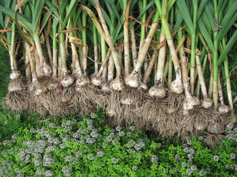 Landareen gaitzei aurre egiteko hel diezaiogun baratxuriari, Allium sativum.
