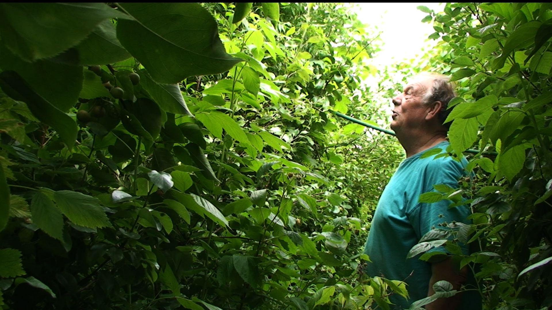 Gilbert Cardon, ilara estuetan landaturiko arbolaz inguratuta. Mikroklima berezi honetan fruitua ematen du normalean Belgikan emango ez lukeen hainbat landarek. (Argazkia: Benjamin Hennot)