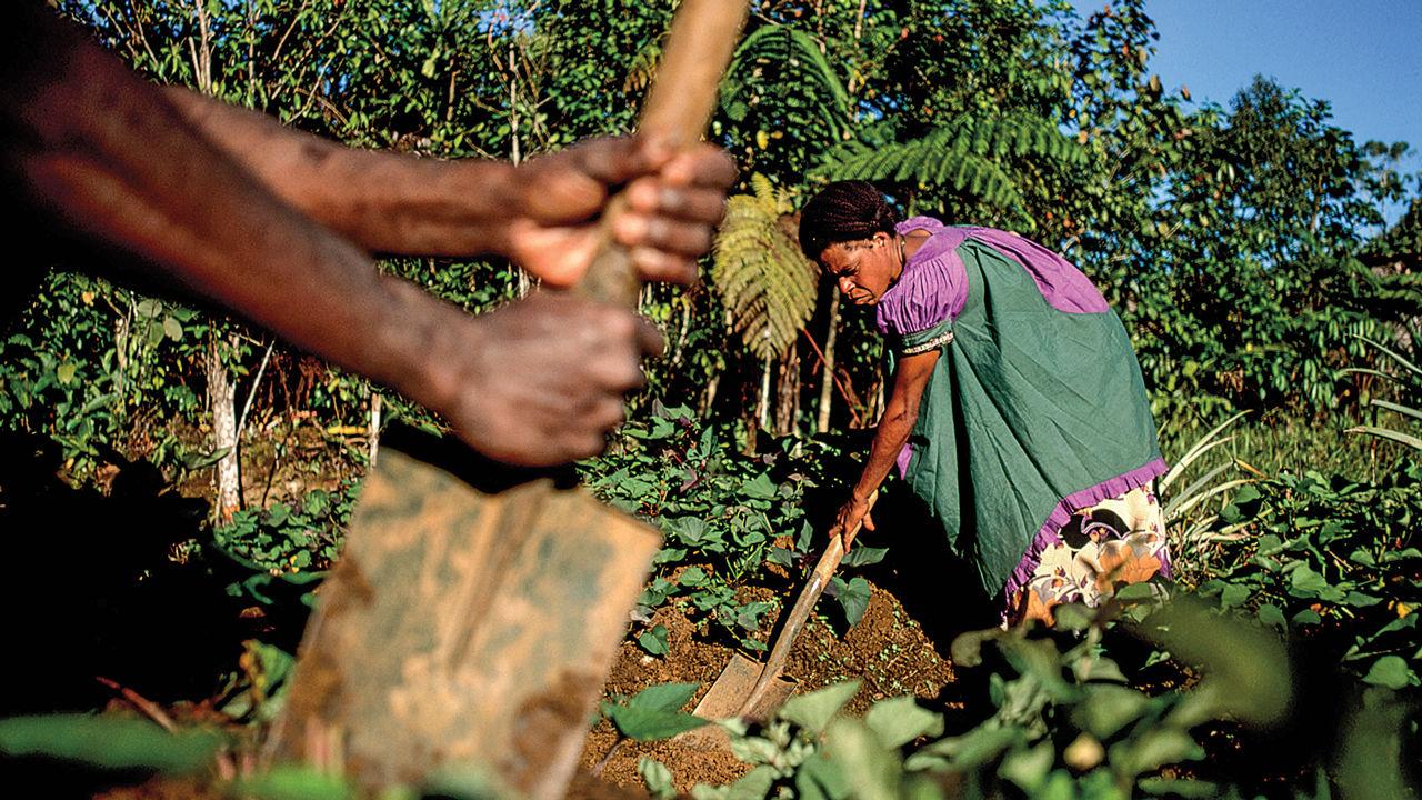 Papua Ginea Berrian, biodibertsitate handienetakoa duen lurraldean, emaztea baratzean antzinako moldean, gaurko materialez egindako lanabes sinpleekin, oihan tropikalez inguratua. Argazkia: Sciencemag.