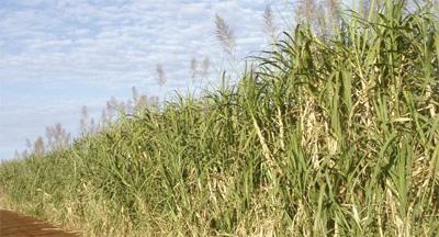 Bioerregaiak ekoizteko landatutako eremu bat, Perun. 2008an, talde ekologista ugarik eskatu zioten NBEri bioerregaia lortzera bideratutako landatzeak debekatzeko, elikagaien krisia areagotu eta lurrak eta ura eskuratzeko lehia biziagotuko zutela argu